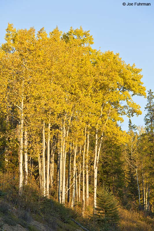 Aspens in fall color Jasper National Park, AB, Canada Oct. 2013