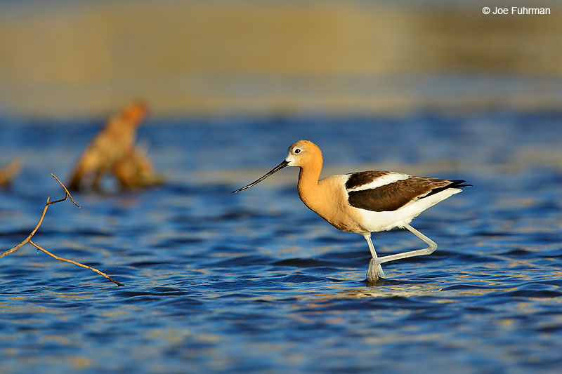 American AvocetL.A. Co., CA June 2016