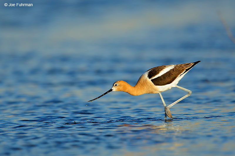 American Avocet L.A. Co., CA June 2016