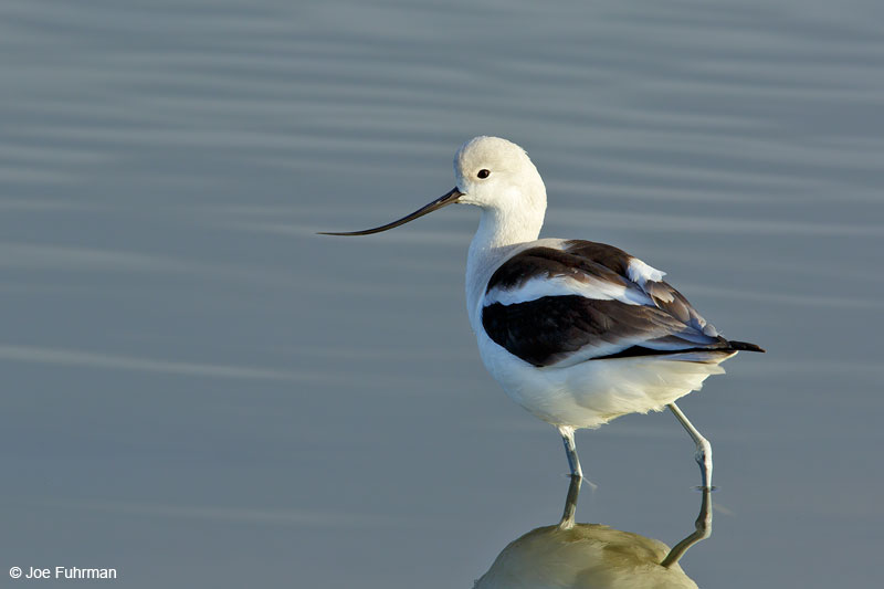 American AvocetOrange Co., CA Feb. 2015