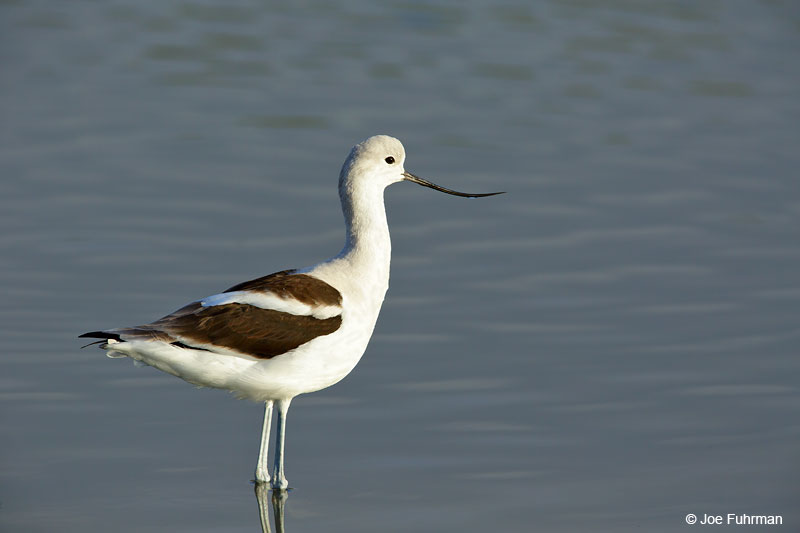 American Avocet Orange Co., CA Feb. 2015
