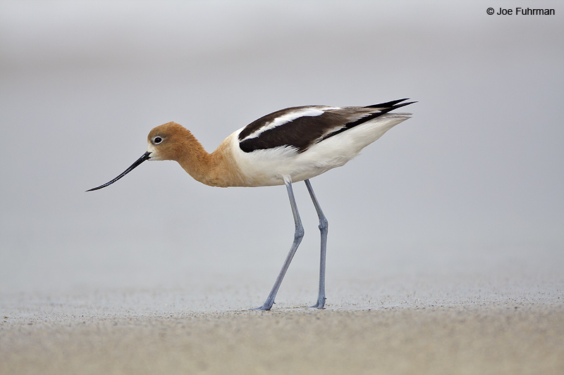 American Avocet Ventura Co., CA June 2009
