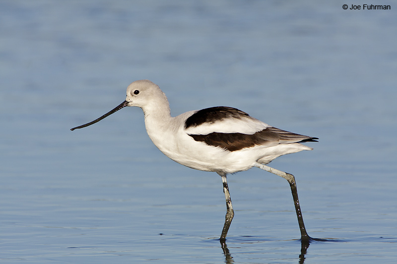 American Avocet winter Santa Clara Co., CA November 2008