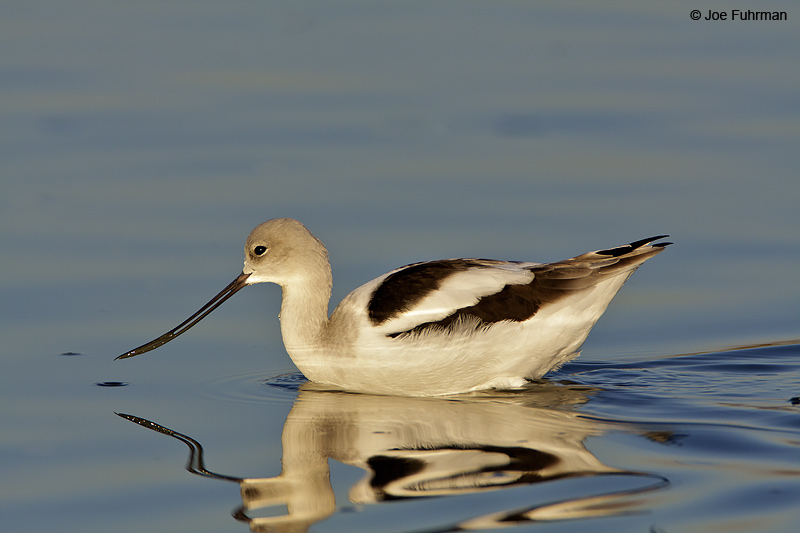 American Avocet Santa Clara Co., CA November 2008
