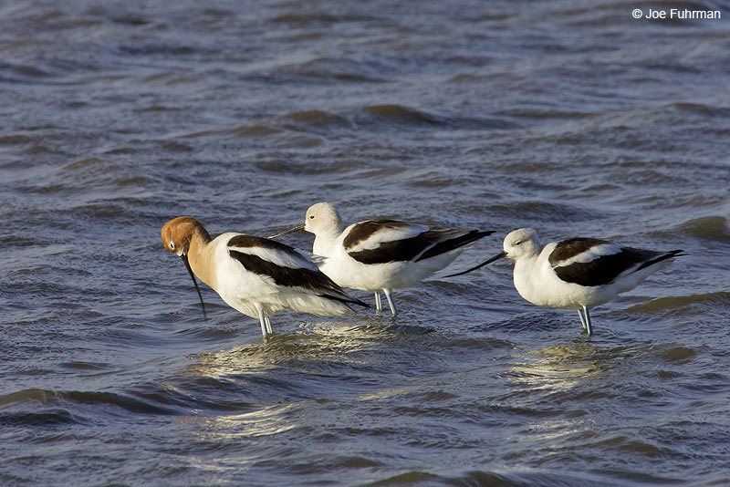 American Avocet Ventura Co., CA March 2006