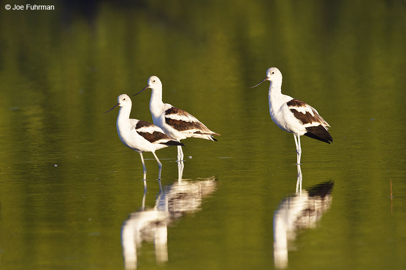 American Avocet Nay., Mexico Dec. 2013