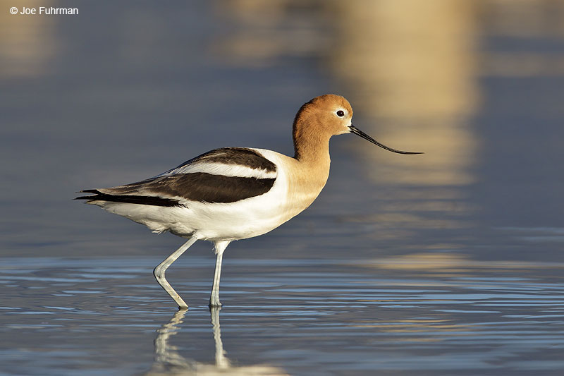 American Avocet Mono Co., CA June 2013