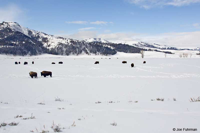 American Bison Yellowstone N.P., WY-Park Co.   Jan. 2010