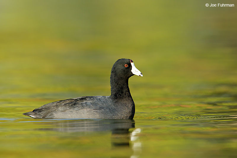 American Coot L.A. Co., CA Jan. 2015