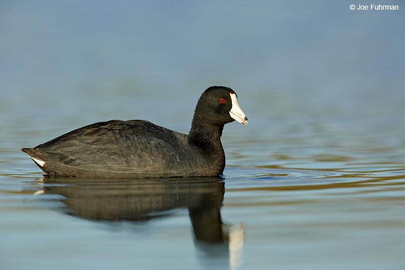 American Coot Orange Co., CA Feb 2015