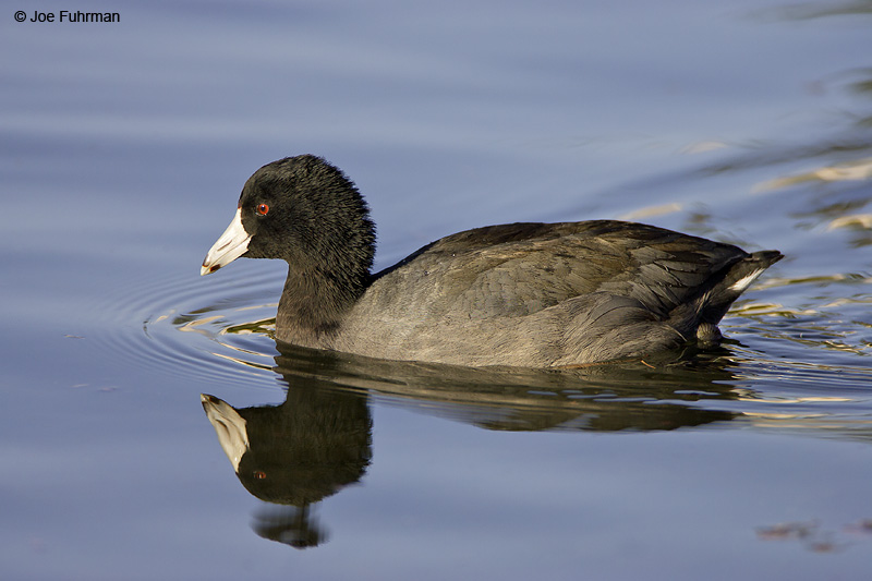 American Coot L.A. Co., CA December 2007