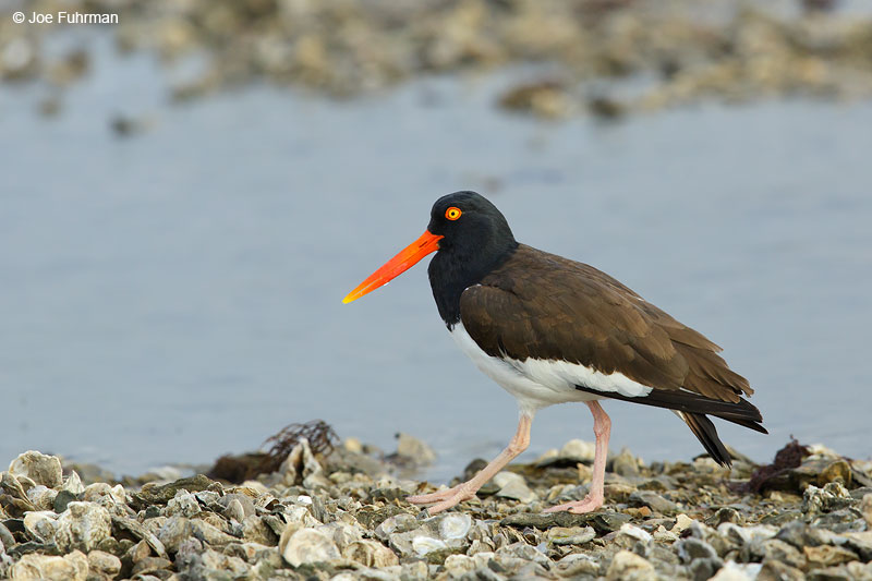 American Oystercatcher on oyster bed.Aransas Co., TX   March 2015