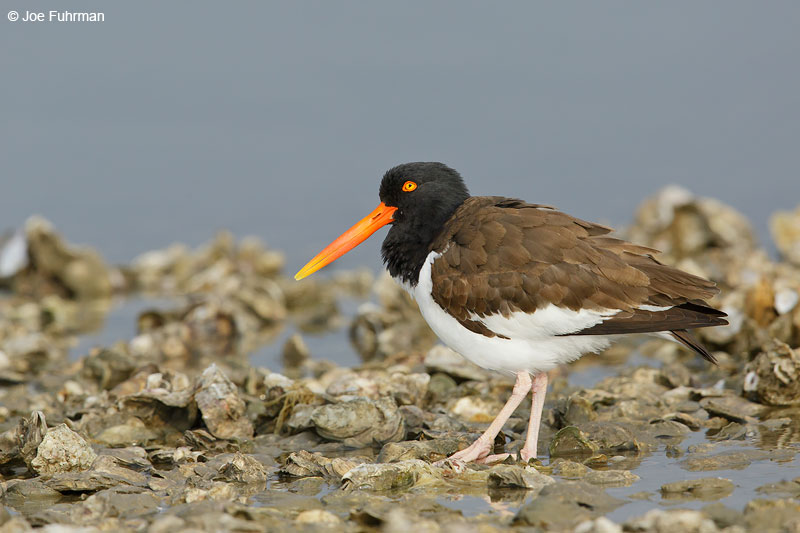 American Oystercatcher on oyster bed. Aransas Co., TX   March 2015