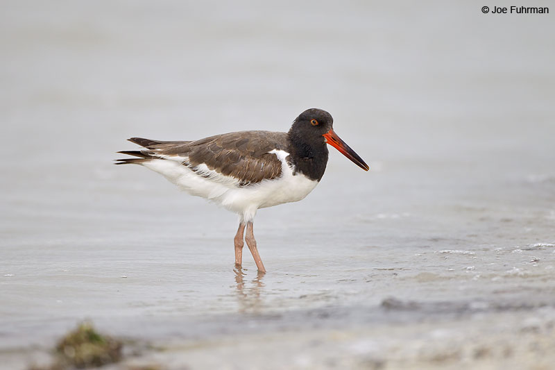 American Oystercatcher juvenile Lee Co., FL   Dec. 2012