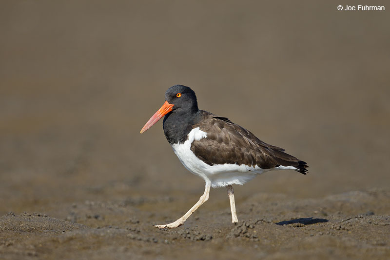 American Oystercatcher Ameca River Lagoon-Nay., Mexico  March 2013