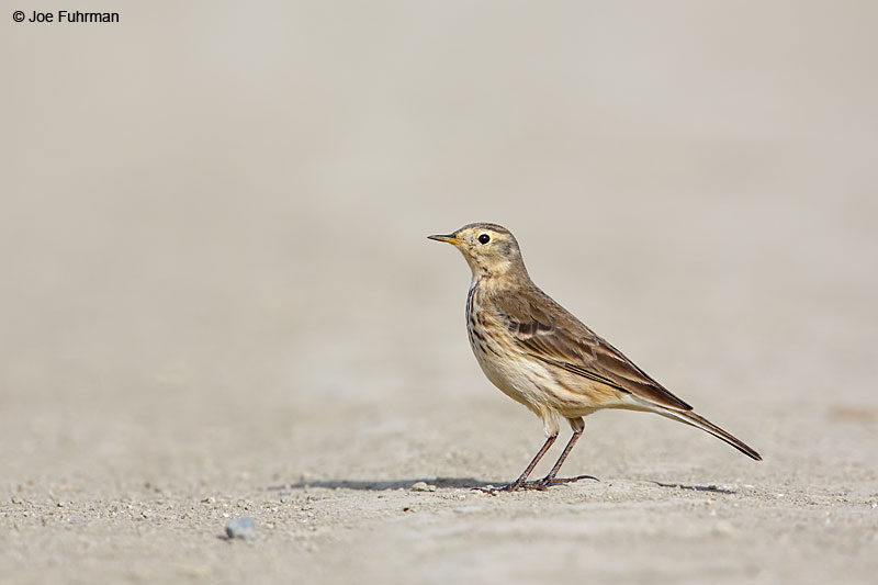 American Pipit Riverside Co., CA December 2015