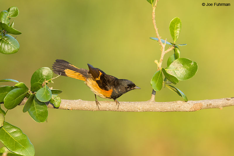 American Redstart Galveston Co., TX   April 2014