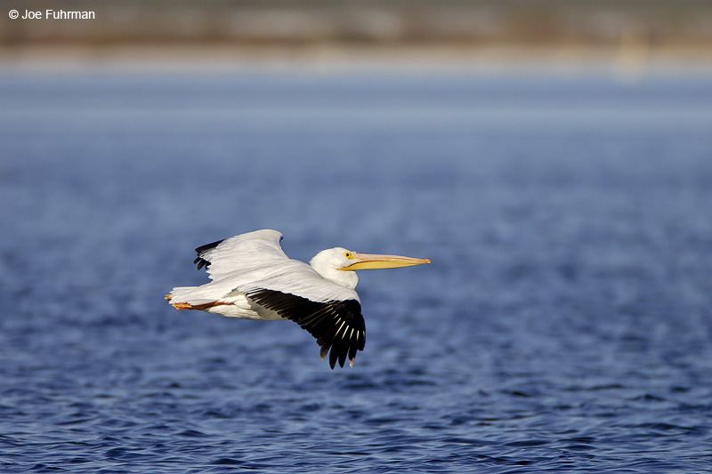 American White Pelican Imperial Co., CA December 2007