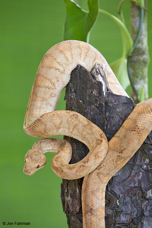 Annulated_Tree_Boa_16A4811