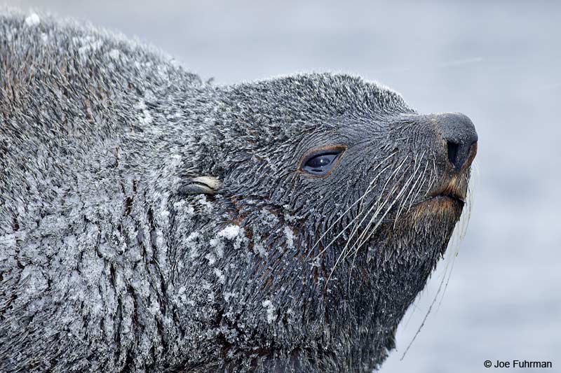 Antarctic Fur Seal Right Whale Bay/South Georgia Island Nov. 2010