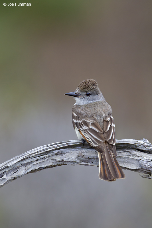 Ash-throated Flycatcher San Diego Co., CA June 2012