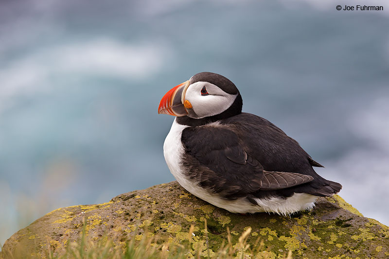 Atlantic Puffin Iceland   July 2013