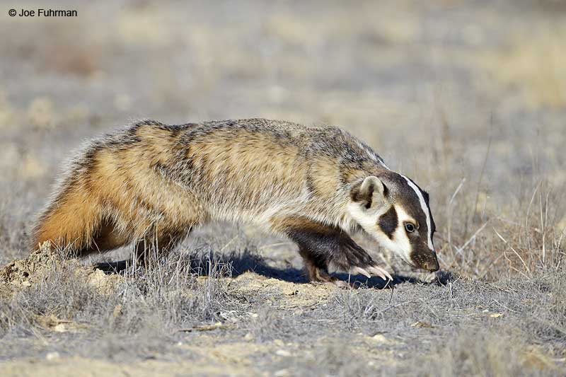 BadgerCarizzo Plain National Monument, CA   Nov. 2012