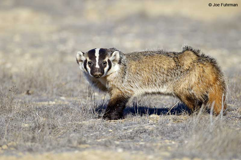 Badger Carizzo Plain National Monument, CA Nov. 2012