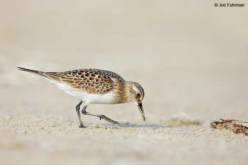 Baird's Sandpiper L.A. Co., CA   August 2016