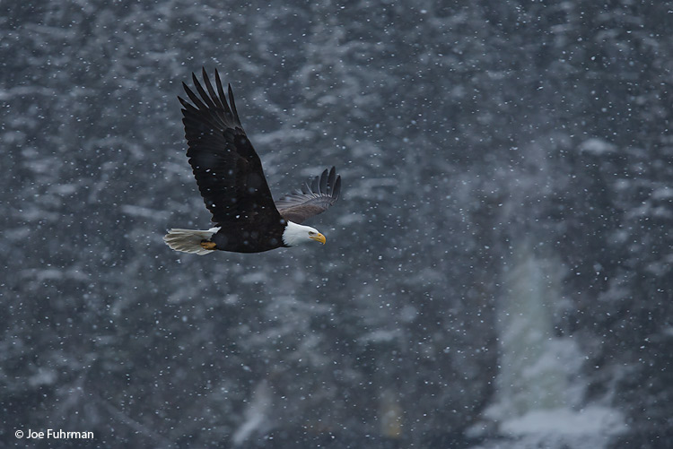 Bald Eagle Homer, AK March 2011