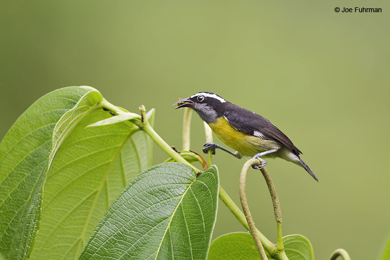 Bananaquit Trinidad And Tobago   Dec. 2012
