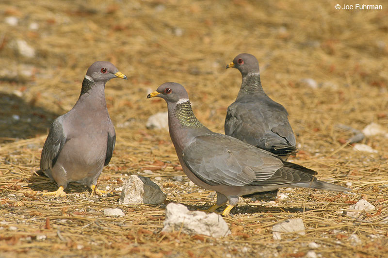 Band-tailed Pigeon L.A. Co., CA July 2000