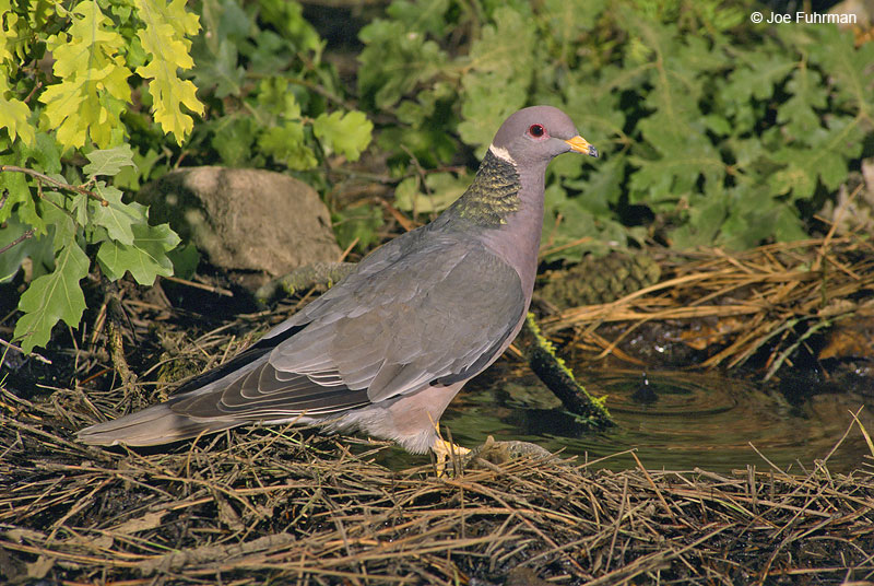Band-tailed Pigeon L.A. Co., CA July 1996