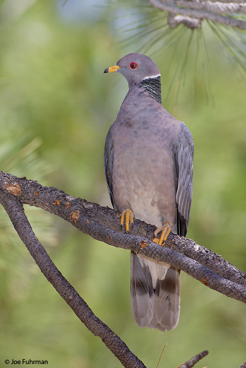 Band-tailed Pigeon L.A. Co., CA June 2007