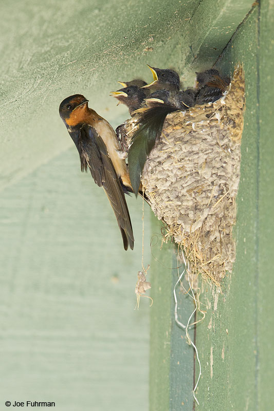 Barn Swallow Brazoria Co., TX   May 2014