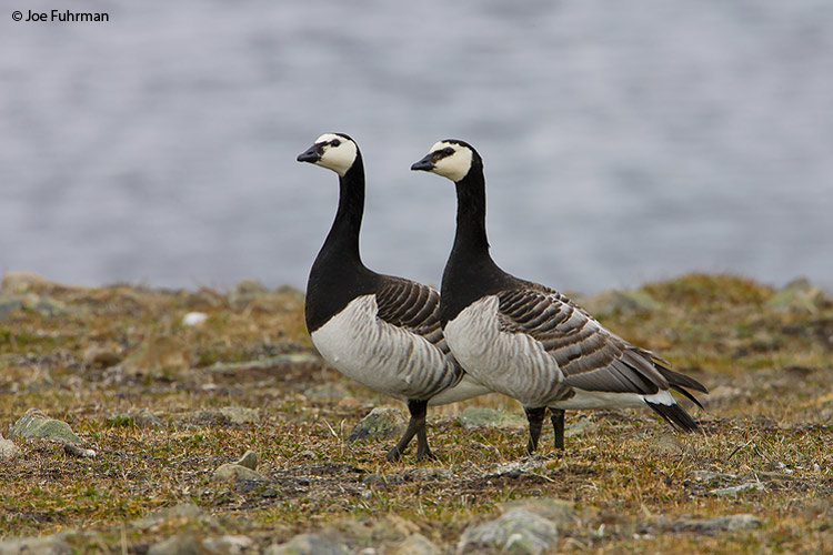 Barnacle Goose Svalbard, Norway   June 2008