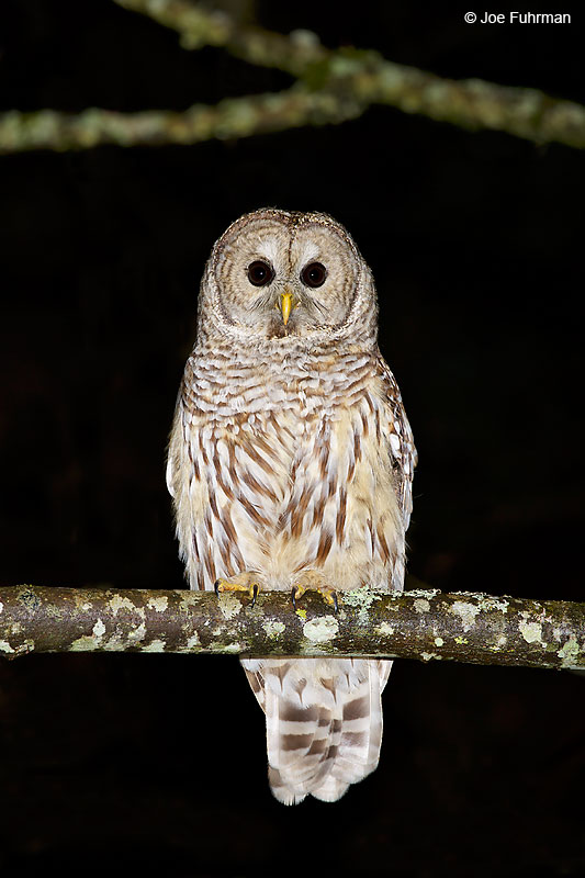 Barred OwlKitsap Co., WA   February 2016