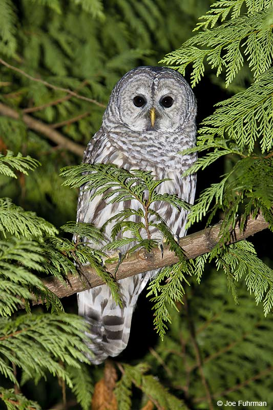 Barred Owl Kitsap Co., WA October 2005