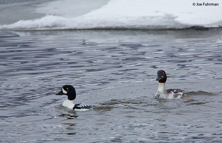 Barrow's Goldeneye Yellowstone National Park, WY   February 2010