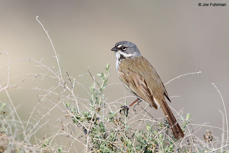 Bell's Sparrow Kern Co., CA Feb. 2015