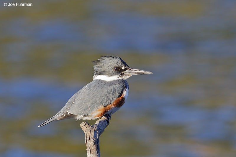 Belted Kingfisher female L.A. Co., CA Jan. 2013