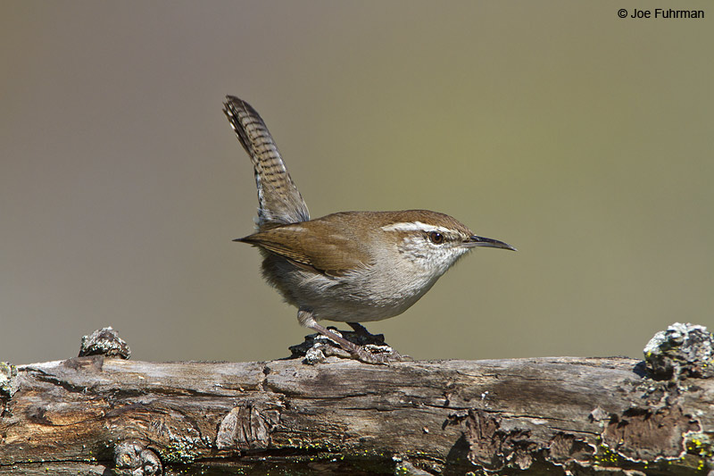 Bewick's Wren Santa Barbara Co., CA January 2010