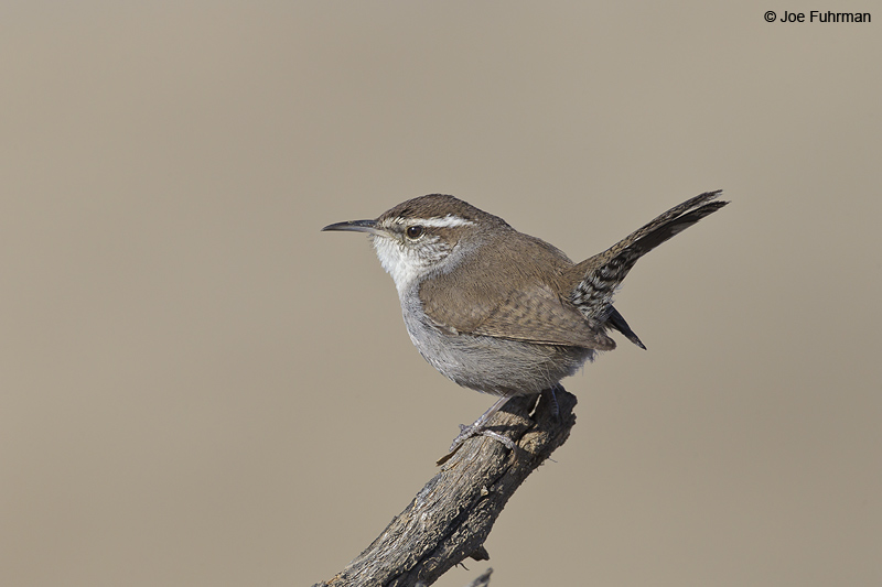 Bewick's Wren Kern Co., CA March 2012