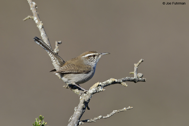 Bewick's Wren L.A. Co., CA Jan. 2011