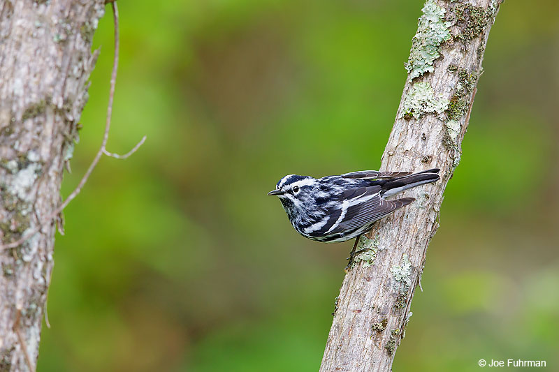 Black-and-white Warbler Lackawanna Co., PA   May 2016