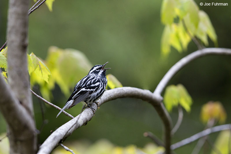 Black-and-white Warbler Piscataquis Co., ME May 2013