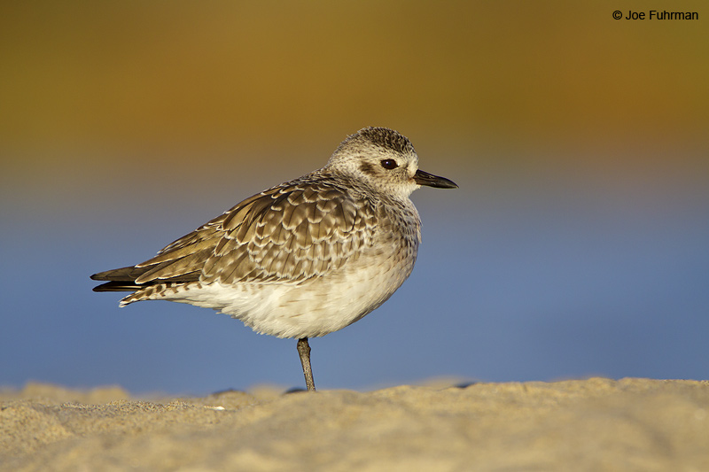 Black-bellied Plover winter plumage Malibu Lagoon-L.A. Co., CA November 2009