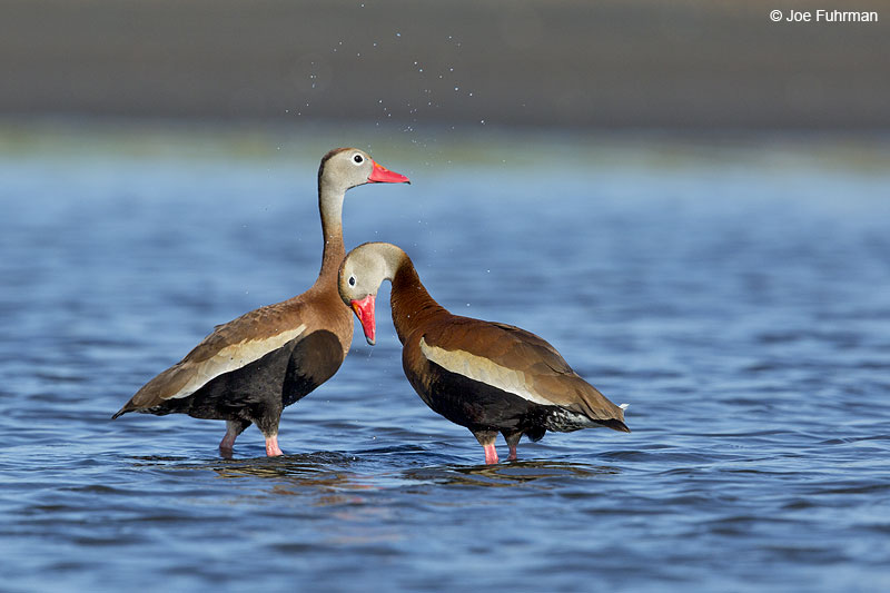 Black-bellied Whistling-Duck Galveston, TX   May 2014