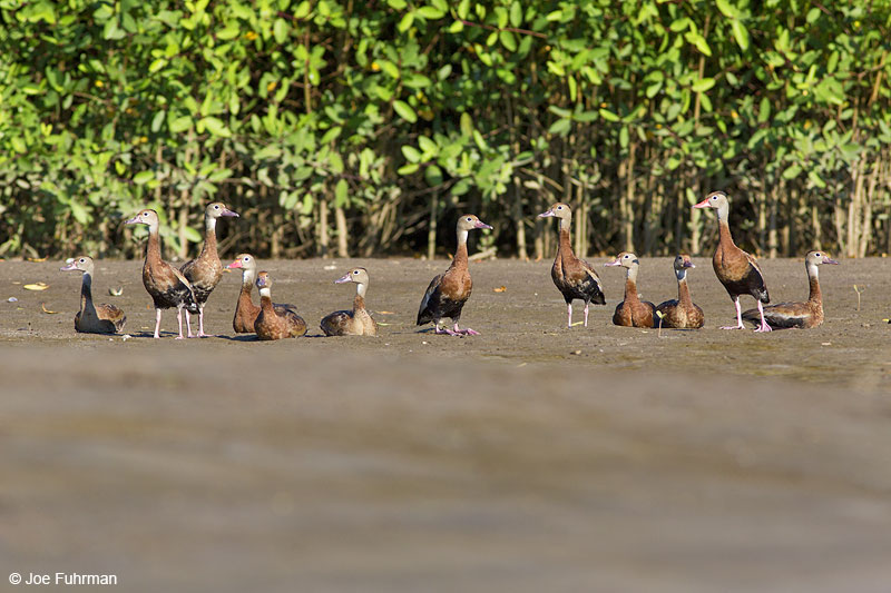Black-bellied Whistling-Duck Nay., Mexico   Dec. 2013