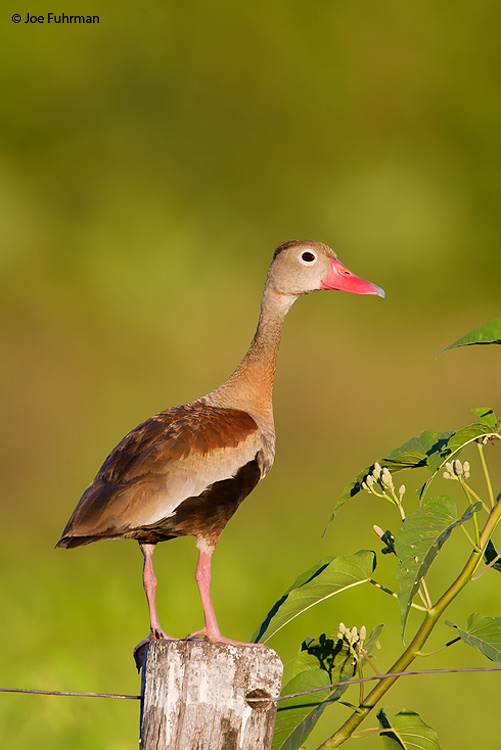 Black-bellied Whistling-Duck Miranda, MS  Brazil   March 2008